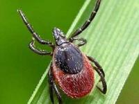 Клещи атакуют: в Новгородском регионе  возрастает количество жертв этих насекомых